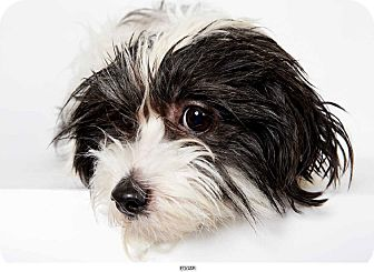 Shih Tzu Mix Dog for adption in New York, New York - Edgar