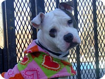 American Staffordshire Terrier/Boxer Mix Dog for adption in New York, New York - Michelle