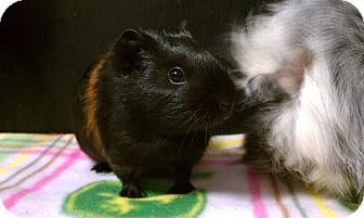Guinea Pig for Sale in Costa Mesa, California - Millie