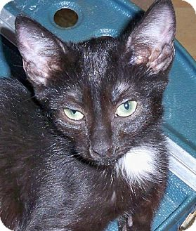 Oriental Kitten for adoption in New York, New York - Jen