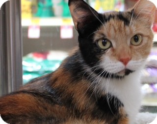 Domestic Shorthair Cat for Sale in Modesto, California - Matilda
