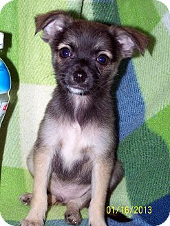 Pomeranian/Chihuahua Mix Puppy for Sale in Sussex, New Jersey - Badger