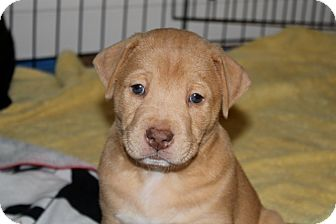 Labrador Retriever/Bulldog Mix Puppy for Sale in Marietta, Georgia - Julius
