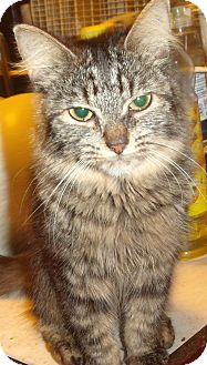 Domestic Mediumhair Cat for adoption in Porter, Texas - Nala