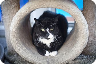 Domestic Shorthair Cat for adoption in Chicago, Illinois - Jean Luc