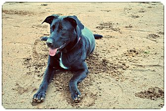 Labrador Retriever Mix Dog for Sale in Manassas, Virginia - Lexi