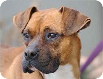 Boxer Dog for adption in Alameda, California - GINGER