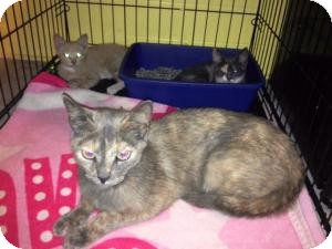 Domestic Shorthair Cat for adoption in Belleville, New Jersey - Sheena