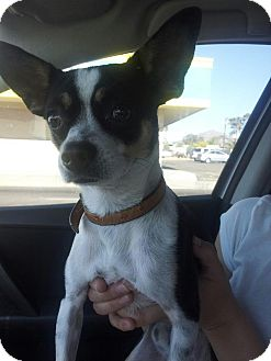 Chihuahua/Jack Russell Terrier Mix Dog for Sale in Scottsdale, Arizona - Dexter