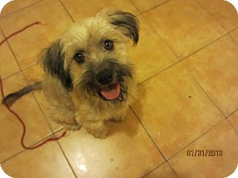 Schnauzer (Miniature)/Terrier (Unknown Type, Medium) Mix Dog for Sale in San Diego, California - Mami