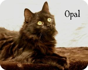 Domestic Longhair Cat for adoption in Warren, Pennsylvania - Opal