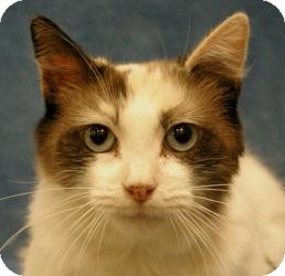 Calico Cat for Sale in Sacramento, California - Elizabeth