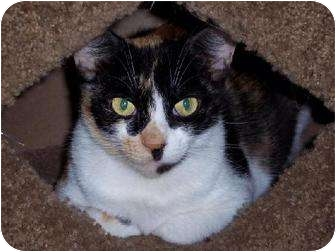 Calico Cat for adoption in Albany, New York - Cinnamon Buns