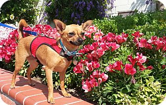 Chihuahua Mix Dog for Sale in San Diego, California - Ruby