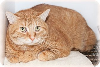 Domestic Shorthair Cat for Sale in Howell, Michigan - Lucy