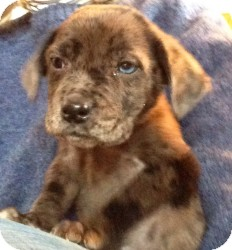 Labrador Retriever/Australian Cattle Dog Mix Puppy for Sale in Marlton, New Jersey - Baby Mason - 1 blue eye!