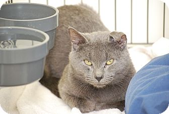 Russian Blue Cat for Sale in Bensalem, Pennsylvania - Marlow
