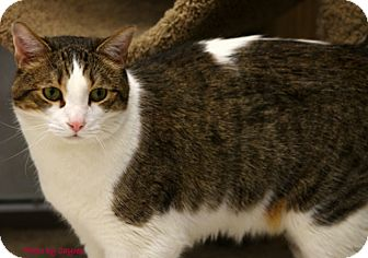 Domestic Shorthair Cat for adoption in Mesa, Arizona - Dan