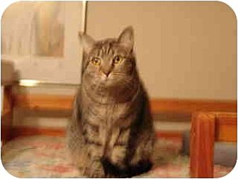Domestic Shorthair Cat for adoption in Pasadena, California - Egypt
