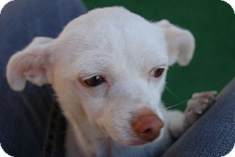 Chihuahua Dog for Sale in san antonio, Texas - Margie
