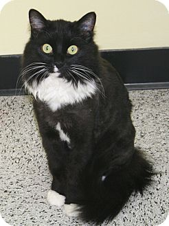 Domestic Mediumhair Cat for adoption in Edmonton, Alberta - Blackie