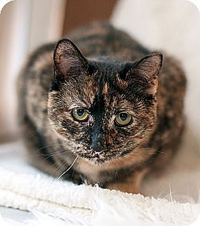 Domestic Shorthair Cat for adoption in New Haven, Connecticut - Jenna