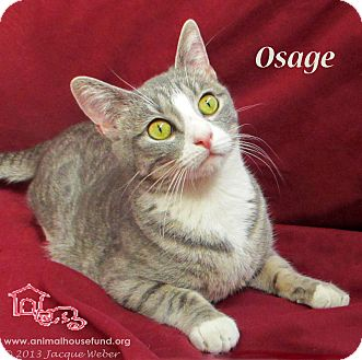Domestic Shorthair Cat for adoption in St Louis, Missouri - Osage