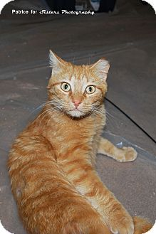 Domestic Shorthair Cat for adoption in Lincoln, Nebraska - Tigger