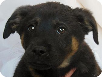 Rottweiler Mix Puppy for Sale in Thousand Oaks, California - Daisy
