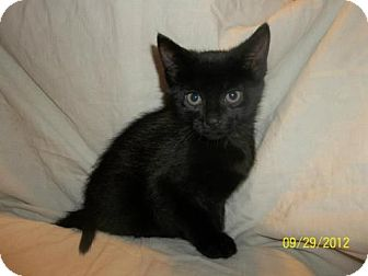 Domestic Shorthair Kitten for Sale in Oxford, New York - Nero