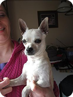 Chihuahua Mix Dog for Sale in Bellingham, Washington - Jay