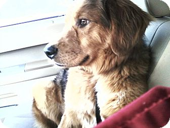 Golden Retriever/Australian Shepherd Mix Dog for Sale in Chattanooga, Tennessee - Camo