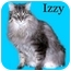 Photo 1 - Domestic Longhair Cat for adoption in Howell, Michigan - Izzy