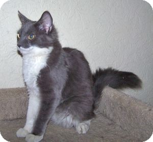 Domestic Mediumhair Cat for Sale in Colorado Springs, Colorado - K-Quail6-Cavalli