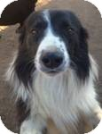Border Collie Mix Dog for Sale in Manchester, Connecticut - bonsai ADOPTION PENDING