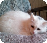 Domestic Longhair Cat for Sale in Anchorage, Alaska - Nicole