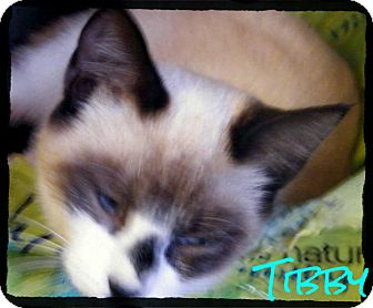 Snowshoe Kitten for Sale in shelton, Connecticut - Tibby