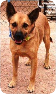 German Shepherd Dog/Australian Cattle Dog Mix Dog for adption in Gilbert, Arizona - Lucky