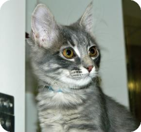 Domestic Shorthair Kitten for Sale in Cheyenne, Wyoming - Apocalypse