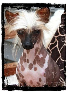 Chinese Crested Dog for Sale in Bridgeton, Missouri - Sassy