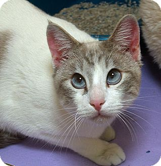 Siamese Cat for adoption in Sacramento, California - Pasha