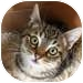 Domestic Shorthair Kitten for adoption in Vancouver, British Columbia - Aurora