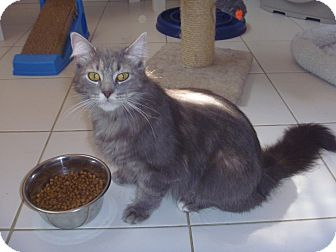 Domestic Mediumhair Cat for Sale in Franklin, New York - Blue Coller