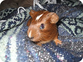Guinea Pig for adoption in johnson creek, Wisconsin - blaze