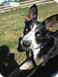 Cattle Dog Mix Dog for Sale in Bellingham, Washington - Dizzy