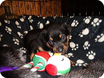 Rottweiler Mix Puppy for Sale in Gilbert, Arizona - Litter of Rottie Pups