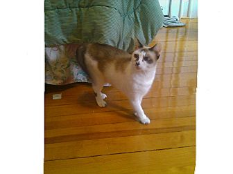 Siamese Cat for adoption in Greenville, South Carolina - Gracie
