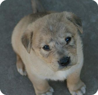 Golden Retriever/Husky Mix Puppy for Sale in Torrance, California - ZANE