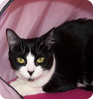 Domestic Shorthair Cat for adoption in Apex, North Carolina - Sassafrass