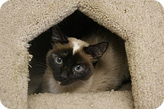 Siamese Cat for Sale in Memphis, Tennessee - Lola